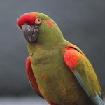 Red Bird Macaw , 7 Cool Red Fronted Macaw In Birds Category