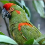 Red Birds , 7 Cool Red Fronted Macaw In Birds Category