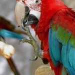 Red & Green Macaw , 7 Cool Macaw Facts For Kids In Birds Category