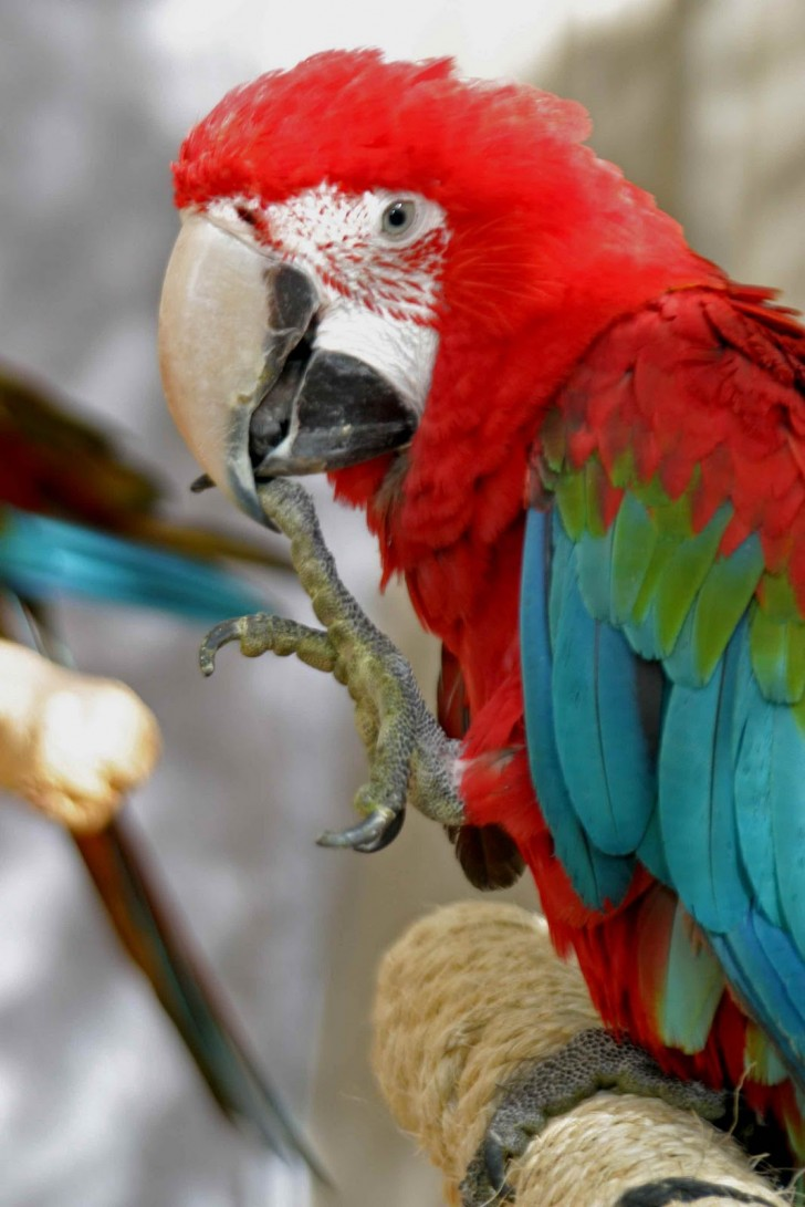 Birds , 7 Cool Macaw Facts For Kids : Red & Green Macaw