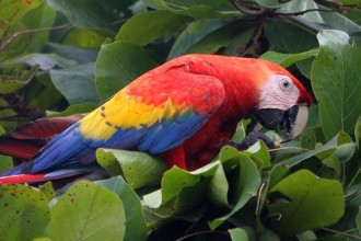 Red Macaw , 8 Wonderful Types Of Macaws In Birds Category