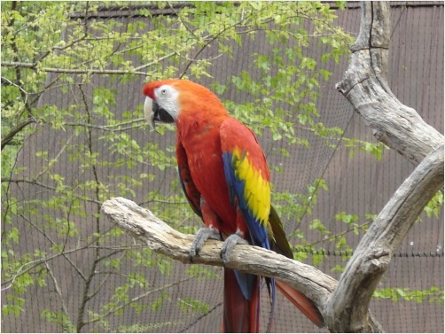 Birds , 7 Top Mccaw Parrot : Red McCaw Parrot