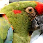 Red fronted Macaw , 7 Cool Red Fronted Macaw In Birds Category