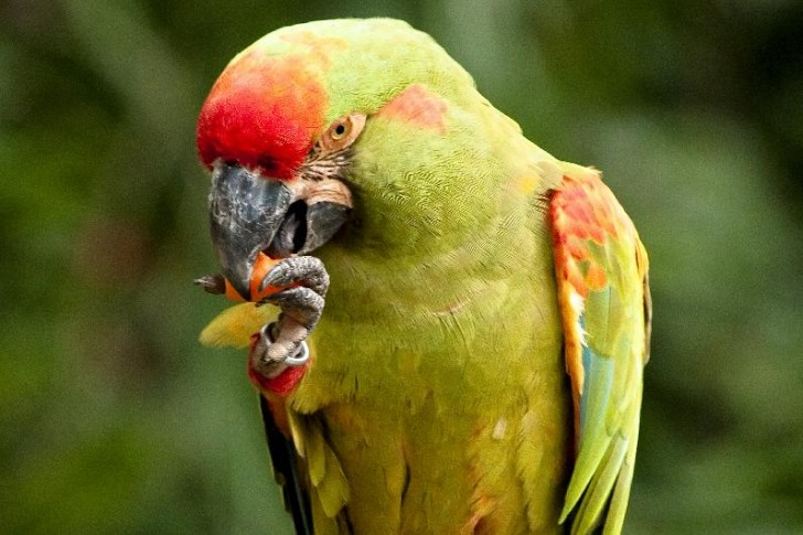 Birds , 7 Cool Red Fronted Macaw : Red Fronted Macaw