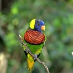 Ringneck Parrot Life Span , 6 Beautiful Parrot Lifespan In Birds Category