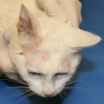 Ringworm Cat , 5 Charming Pictures Of Cats With Ringworm In Cat Category