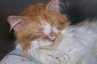 Ringworm On Cats , 6 Charming Ringworm In Cats Pictures In Cat Category