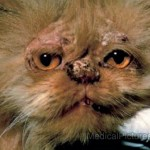 Ringworm Pictures , 6 Charming Ringworm In Cats Pictures In Cat Category