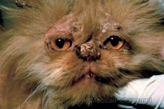 Ringworm Pictures in Cat