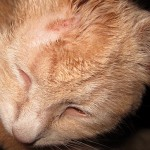 Ringworm in Cats , 5 Charming Pictures Of Cats With Ringworm In Cat Category