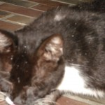 Ringworm on Cat , 6 Charming Ringworm In Cats Pictures In Cat Category