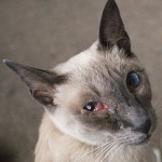 Risk of Eye Infection , 7 Cat Eye Infection Pictures You Should Consider In Cat Category