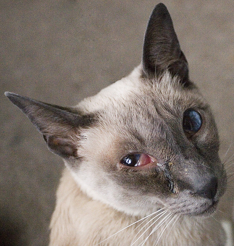 Cat , 7 Cat Eye Infection Pictures You Should Consider : Risk Of Eye Infection