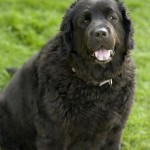 Rottweiler Newfoundland , 7 Charming Newfoundland Dog Pictures In Dog Category