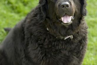 Rottweiler Newfoundland , 7 Charming Newfoundland Dog Pictures In Dog Category