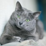 Russian Blue Cat , 7 Gorgeous Pictures Of Russian Blue Cats In Cat Category