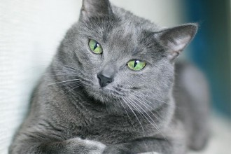 Russian Blue Cat in Dog