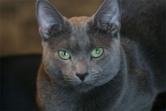Russian Blue Cat Pictures , 7 Gorgeous Pictures Of Russian Blue Cats In Cat Category
