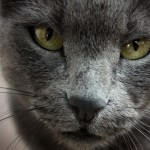 Russian blue cat looks , 7 Gorgeous Pictures Of Russian Blue Cats In Cat Category