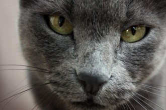 Russian blue cat looks in Dog
