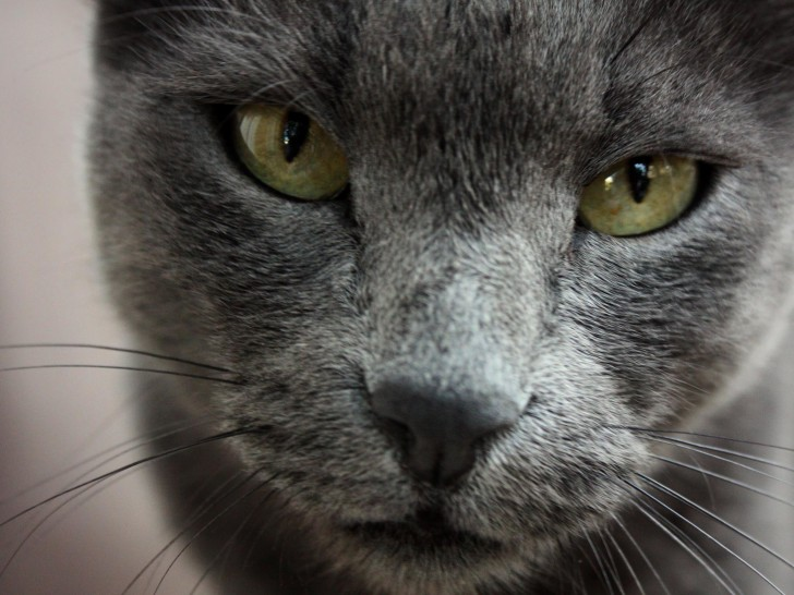 Cat , 7 Gorgeous Pictures Of Russian Blue Cats : Russian Blue Cat Looks