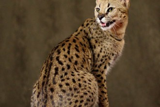 Savannah Cat in Cell