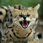 Savannah Cats , 7 Lovely Savannah Cat Pictures In Cat Category