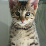 Savannah Kitten , 7 Lovely Savannah Cat Pictures In Cat Category