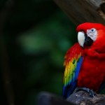 Scarlet Macaw , 7 Gorgeous Scarlet Macaws In Birds Category