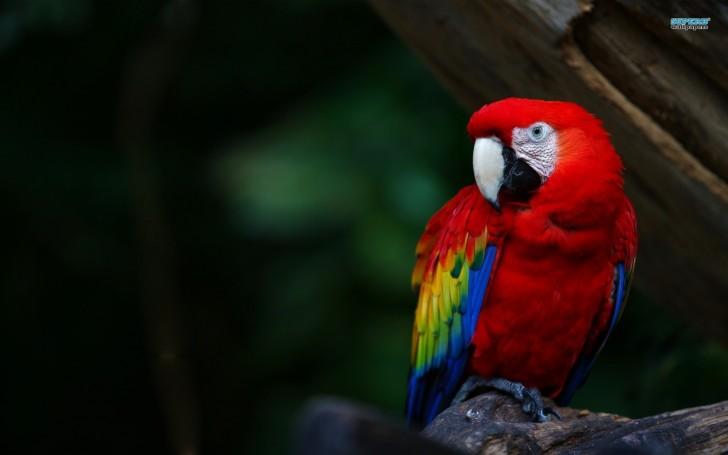 Birds , 7 Gorgeous Scarlet Macaws : Scarlet Macaw