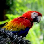 Scarlet Macaw In Honduras , 7 Wonderful Scarlet Macaw Facts In Birds Category