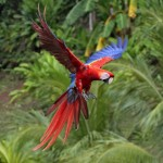 Scarlet Macaw Latest Facts , 7 Wonderful Scarlet Macaw Facts In Birds Category