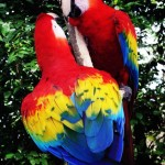 Scarlet Macaw Latest Facts , 6 Facts About Macaws In Birds Category