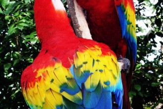 Scarlet Macaw Latest Facts in Primates