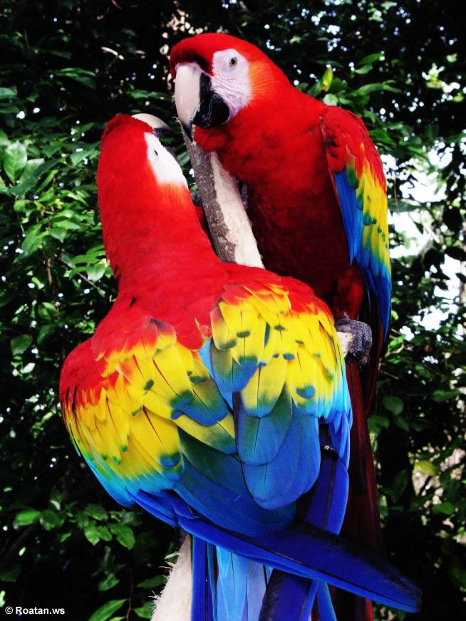 Birds , 6 Facts About Macaws : Scarlet Macaw Latest Facts