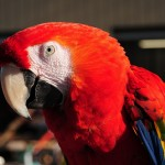 Scarlet Macaw Training Facts , 7 Wonderful Scarlet Macaw Facts In Birds Category