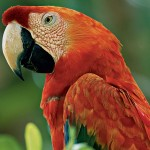 Scarlet Macaw pics , 7 Gorgeous Scarlet Macaws In Birds Category