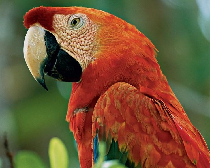 Birds , 7 Gorgeous Scarlet Macaws : Scarlet Macaw Pics