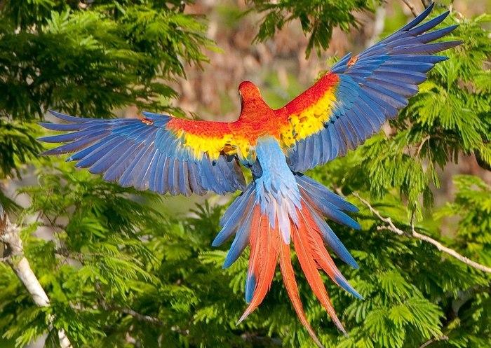 Birds , 7 Wonderful Scarlet Macaw Facts : Scarlet Macaw