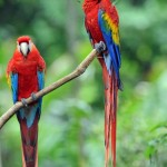 Scarlet Macaw , 6 Facts About Macaws In Birds Category