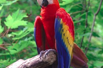 Scarlet Macaw , 7 Cool Pictures Of Macaws In Birds Category