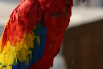 Scarlet Macaw , 7 Popular Scarlet Macaw In Birds Category