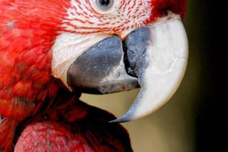 Scarlet Macaw In The Region , 7 Wonderful Scarlet Macaw Facts In Birds Category