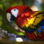 Scarlet parrot Macaw , 7 Gorgeous Scarlet Macaws In Birds Category