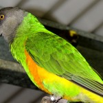 Senegal Parrot , 7 Wonderful Senegal Parrots In Birds Category