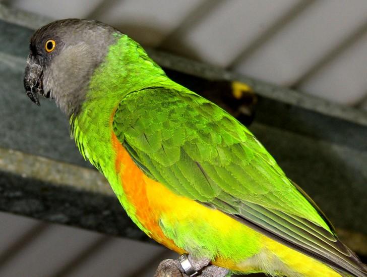 Birds , 7 Wonderful Senegal Parrots : Senegal Parrot