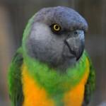 Senegal Parrots , 5 Nice Senegal Parrot In Birds Category