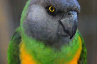 Senegal Parrots in Dog