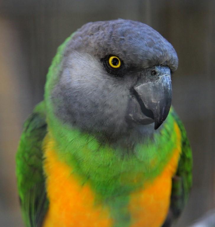 Birds , 5 Nice Senegal Parrot : Senegal Parrots