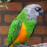 Senegal parrot Bird , 7 Beautiful Senegal Parrot In Birds Category
